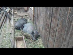 Плюсы и минусы вьетнамских свиней