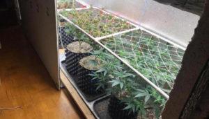 Ответственность за выращивание конопли дома
