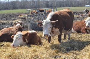 Выращивание крупнорогатого скота на мясо